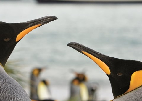 South Georgia & The Falklands with Lindblad Expeditions