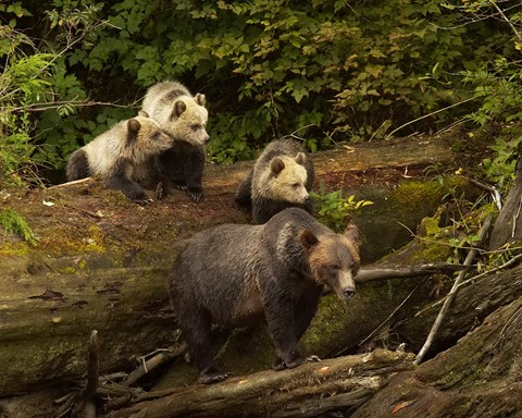 Grizzly Bears of Knight Inlet