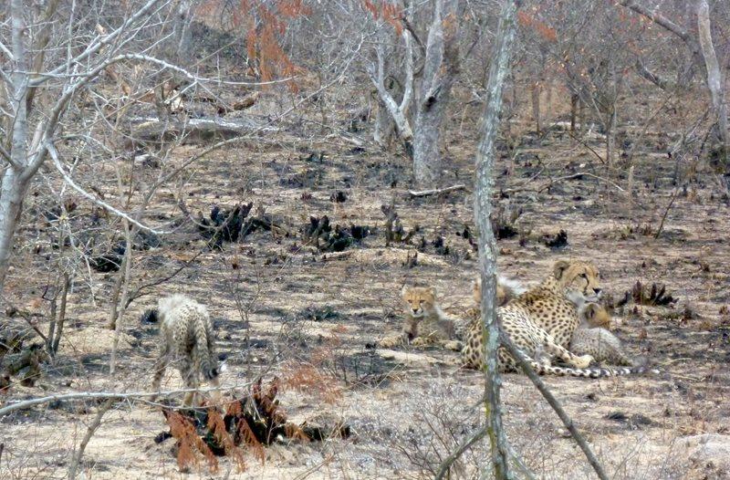 Lions, cheetahs & more at Makutsi Safari Springs