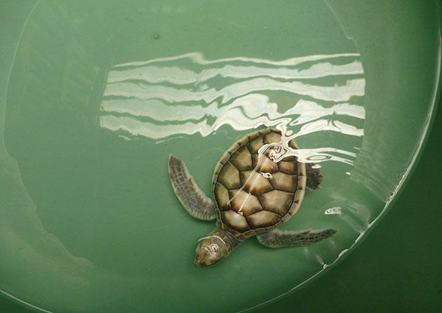 Turtle rehabilitation in Sri Lanka