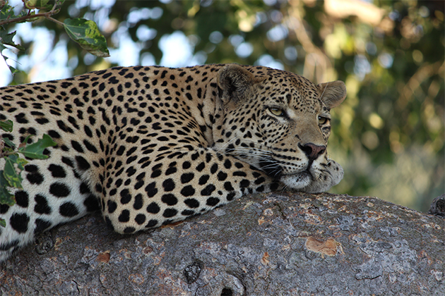 5 facts about African Leopards you never knew
